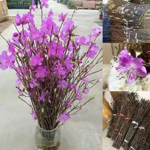 Bó 40 cành hoa đỗ quyên ngủ đông