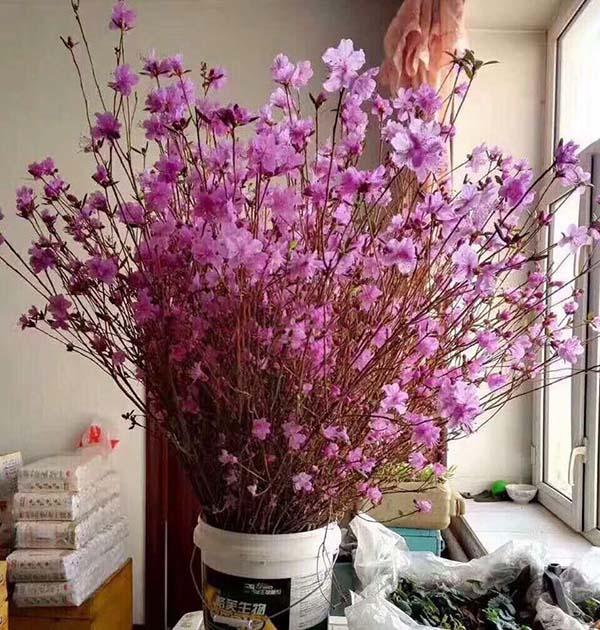 Bán buôn bó 40 cành hoa đỗ quyên ngủ đông